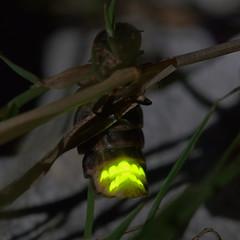 Glow Worm (image 2 of 5) (Full Moon Images) Tags: cambridge macro insect chalk glow wildlife bcn beetle trust worm quarry cambridgeshire glowworm cherryhinton cherryhintonchalkpits