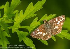 Common/White Checkered-Skipper (sjsimmons68) Tags: animals butterfly pyrguscommunis commoncheckeredskipper insectsandspiders lakejesup seminoleco fllocations marlbedflatslakejesupca