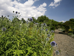 Echinops @ Sexby Garden (Adam Swaine) Tags: park flowers summer london canon petals flora colours purple parks peckhamryepark echinops 2014 swaine
