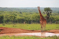 Giraffe by the Watering Hole (matthewgamble2) Tags: life africa travel vacation orange green love nature water beautiful grass animal animals canon landscape photography background safari spots tall giraffe uganda
