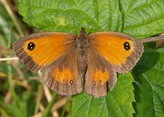 Gatekeeper Dothill 07.08.2014 (Tim J Preston) Tags: flowers lake macro nature pool birds fauna pond flora shropshire wildlife bees butterflies reserve bugs telford wellington trust local tee invertebrates ornithological dothill