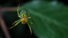 Spider (lukcinek) Tags: macro green nature photography grey spider fly leaf cross legs zoom fear bugs ugly hungry 40mm nikkor macrodreams twittertuesday