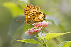 Silver Washed Fritillary Butterfly's Drinking Honey from Flower(꿀을 마시는 나비) (Johnnie Shene Photography(Thanks, 2Million+ Views)) Tags: flowers wild flower colour macro nature animal animals horizontal closeup canon silver butterfly bug insect lens outdoors photography eos rebel one living fly kiss image outdoor wildlife south butterflies insects 11 korea images bugs single flies 28 washed tamron 90mm 90 f28 freshness incheon fritillary t3i x5 organism fragility 나비 곤충 접사 600d argynnis paphia 매크로 표범나비 은줄표범나비