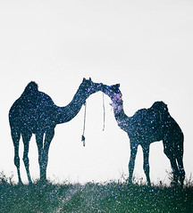 Stars Inside Me (nimitnigam) Tags: art me animal animals silhouette photoshop stars photo nikon exposure double camel adobe inside nikkor photoart nimit silhouttes d800 nigam cs6 d3000