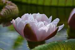 Amazon Lotus (bbic) Tags: flower lotusamazon botanicalgardenclujromania
