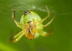 Spider (Carl@CDHPIX) Tags: macro green nature beautiful canon mouth spider scary eyes awesome sigma ugly raynox