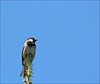 As High As You Can Go (Sue90ca Spring Has Sprung, The Grass Is Riz.....) Tags: canon sparrow onblue ontop ruleofthirds 60d