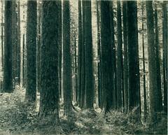 Anglų lietuvių žodynas. Žodis lowland fir reiškia žemumų eglės lietuviškai.