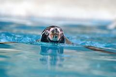 Penguin Torpedo (Dave Brotherton Wildlife Photography) Tags: water animals penguin nikon harewoodhouse d3200