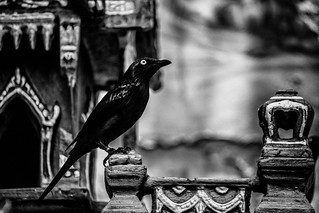 Asian Glossy Starling on Birdhouse (Black & White)