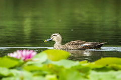 Water Lily Pond (Shiger Miy) Tags: summer nature beautiful birds japan japanese pond waterlily waterbirds
