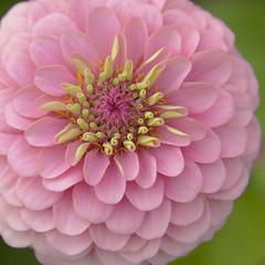 Eye Full (Lala Lands) Tags: dof bokeh symmetry afternoonlight pinkflowers zinniaelegans pinkzinnia nikond300s summerandfallflowers nikkor28300mmf35