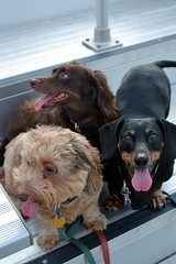 Taking A Break (Tobyotter) Tags: frank virginia hound dachshund hund link tongues jimmydean cnu newportnews christophernewportuniversity