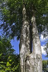 Three Trunked Tree (Chris Mullineux) Tags: tree forest woods nikon trunk beech savernake savernakeforest mullineux