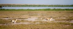 Kenia-Tanzania_Agosto2014_0442_17072014.jpg (rostras) Tags: animal kenia correr amboseli gacela mamífero áfrica ungulados
