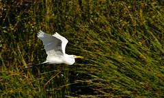 Great egret 1 (poppiness) Tags: greategret birdinflight schwanlake