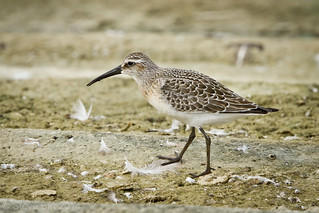 Curlew Sand 003