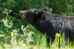 Sometimes you just need to stop and eat the roses (TSBTP) Tags: bear canada wildlife alberta banff blackbear banffnationalpark