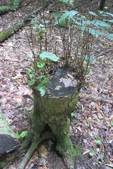 Regrowth (amyboemig) Tags: statepark park summer dog pond state sweet walk hike stump regrowth drained sweetpond