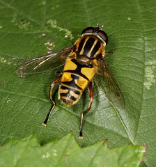 Gemeine Sumpfschwebfliege (makro10nh) Tags: arthropoda insekten syrphidae diptera insecta helophiluspendulus zweiflgler schwebfliegen gemeinesumpfschwebfliege gliederfser