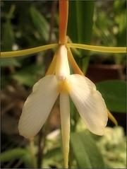 (Tlgyesi Kata) Tags: orchid flower spring blossom greenhouse botanicalgarden orchidea fvszkert botanikuskert veghz epidendrumnocturnum withcanonpowershota620