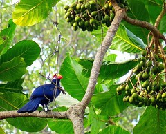 Violet Turaco / Violette Toerako (Ronald Poels - Enjoy all the beauty) Tags: africa travel tree bird nature animal violet reserve turaco gambia violette abuko toerako
