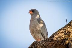 Goshawk Dark Chanting (michael heyns) Tags: birds southafrica wildlife falcon prey krugernationalpark voels wildtuin2011