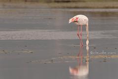 XI - Undici (cocciula) Tags: sardegna birds sardinia flamingo laguna riflessi birdwatching phoenicopterusroseus cagliari avifauna riflesso fenicotteri stagno karalis fenicottero zoneumide giornodipioggia uccelliacquatici santagilla gentiarrubia stagnodicagliari
