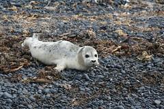 Seal pup at Yaquina Head Outstanding Natural Area (BLMOregon) Tags: oregon coast wildlife coastal seal pup yaquinahead tidepool