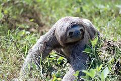 (kimbell) Tags: travel 35mm amazon nikon rainforest bolivia 200 sloth agfa pampas fe2 c41 tetenal