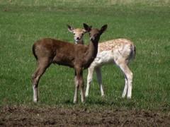 deer (menchuela) Tags: animals deer menchuela british fauna