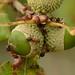Saviez-vous que les fourmis étaient fans de glands ? :)