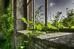 Nature wins! (Revierfotograf) Tags: fenster pflanzen bahnhof ruine ruhrgebiet verlassen scherben abbruch ringlokschuppen lokschuppen gterbahnhof bahnbetriebswerk
