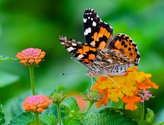 Painted Lady (George McHenry Photography) Tags: butterflies paintedlady