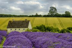 Snowshill Lavender (Phil Dockerill) Tags: nikon lavender cotswolds worcestershire snowshill d610 phildockerill
