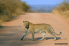 DSC_7422 (Arno Meintjes Wildlife) Tags: africa nature southafrica wildlife safari leopard predator bigcats krugerpark arnomeintjes
