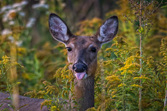 SenseOfHumor (jmishefske) Tags: park nature tongue wisconsin out lens franklin nikon wildlife humor center doe september deer milwaukee tamron sticking whitetail wehr 2014 whitnall halescorners d7100 150600mm