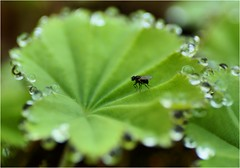 ladysmantle fly mich vlieg vrouwenmantel leaf blêd blad green grien groen water drop droplet wetter drip macro 90mm tamronspaf90mmf28dimacro tamron skepping schepping creation nature sony sonyalpha α57 a57 slta57 f28 iso100 1500 sonyphotographing amount