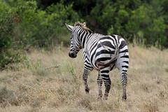 Zebra with lion scratches (valentinastorti) Tags: africa ranch park wild fauna walking hurt kenya wildlife wounded lion reserve scratches east safari zebra prey solio