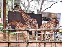 Image21 - Copia (Daniel.N.Jr) Tags: animal selvagem zoologico kodakz990