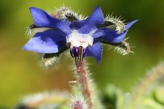 Kurkkuyrtti (Borago officinalis) (Henri Koskinen) Tags: finland kasvi officinalis meilahti borago kurkkuyrtti 14092014