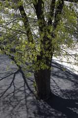 A2129 (lumenus) Tags: street tree australia canberra act