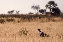 Secrtaire (trekmaniac-is-back) Tags: 1998 animaux oiseau diapos diapo afriquedusud tweerivieren
