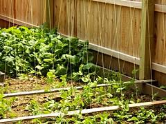 sugar snaps begin to climb (MissyPenny) Tags: plants usa green leaves america fence garden trellis peas turnips sugarsnaps sugarsnappeas englishpeas bristolpennsylvania commonwealthpa