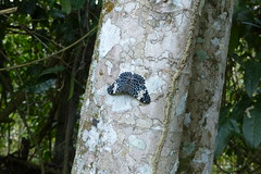 Hamadryas amphinomes (Helio Lourencini) Tags: hamadryasamphinomes butterfly animal aoarlivre macro inseto borboleta coresvivas worldbest explore flor planta paudalho pernambuco wild wildlife selvagem forest floresta mataatlantica