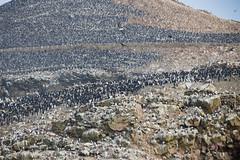 Yes, they're all birds (fabioresti) Tags: cormorants pelicans ballestas islands isole baia paracas bahia per pellicani cormorani terns inca seagulls gabbiani collina hill uccelli birds canoneos80d 55250