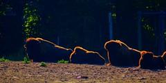 HorBizon (W.R. van Straalen) Tags: autumn blijdorp rotterdam bizons minolta300mmf40g sonyalphaa77 2016 oktober2016 hdr