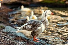 Golden goose uncooked (Pat Charles) Tags: newzealand southisland queenstown lake lakehayes otago centralotago goose geese bird beak sunset nikon 1001nights 1001nightsmagiccity