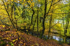 Steep slope covered with fallen leaves from trees (tomaskriz1) Tags: river fallen slope steep moss wonderful beautiful beauty colorful forest grass green landscape natural nature outdoors rural scene season tree trees moravian czech orange yellow leaves leave autumn