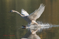 Brakes on, flaps down (M_R_Curtis) Tags: inflight 2016 stovercountrypark cygnet